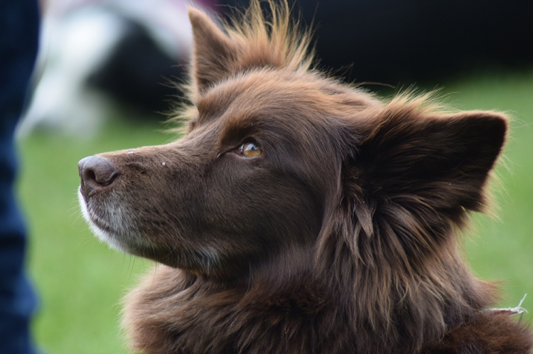 Close up photo of a cute, brown dog