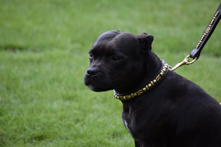 Small, muscular black dog