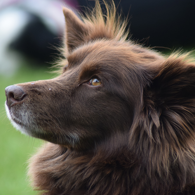 Brown dog linking to Companion Dog Show page